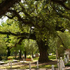"""The Evangeline Oak., in St Martinville, Louisianna. Longfellow's poem """"Evangeline"""" immortalized the tragedy of the Acadian exile from Nova Scotia in 1755. This oak marks the leendary mettting place of Emmeline Labiche & Louis Arceneaux, the counterparts of Evangeline & Gabriel."""
