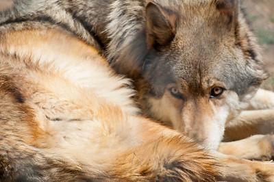 Wild Spirit Wolf Sancturary Wild Spirit Wolf Sancturary