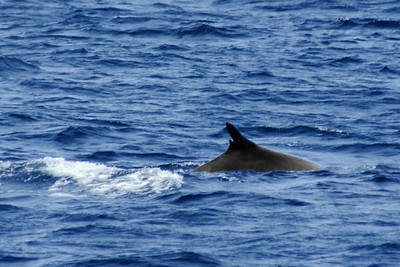 Our only whale sighting, and I didn't see much of it. This is a fin-backed whale.