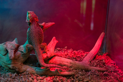 A bearded dragon sits under a heat lamp at Scovill Zoo in Decatur, Illinois on August 12, 2012. (Jay Grabiec)