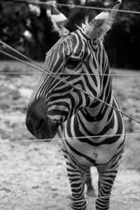 A zebra at Scovill Zoo in Decatur, Illinois on August 12, 2012. (Jay Grabiec)