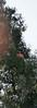 Redwood-2896
