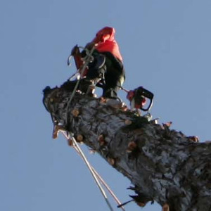 The Redwood Tree Comes Down