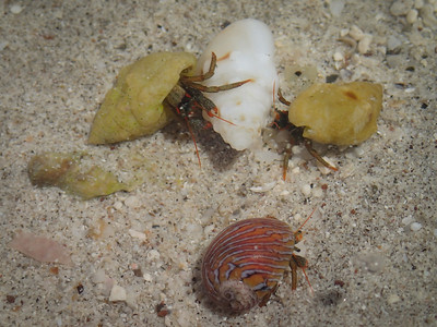 Small hermit crabs