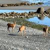 Another morning walk for coffee and I discover a herd of deer on the beach.