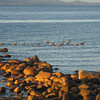 Evening on the beach at Qualicum.  Brandt's geese paddle by in formation.