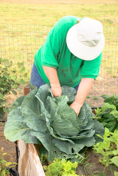 Sonja harvesting a cabbage.