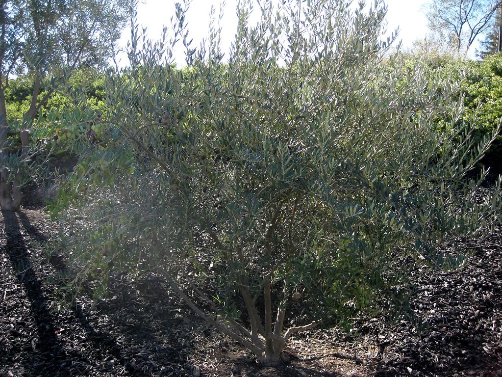 Small olive tree.