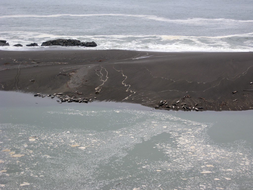 Seals resting at the mouth of the Russian River.