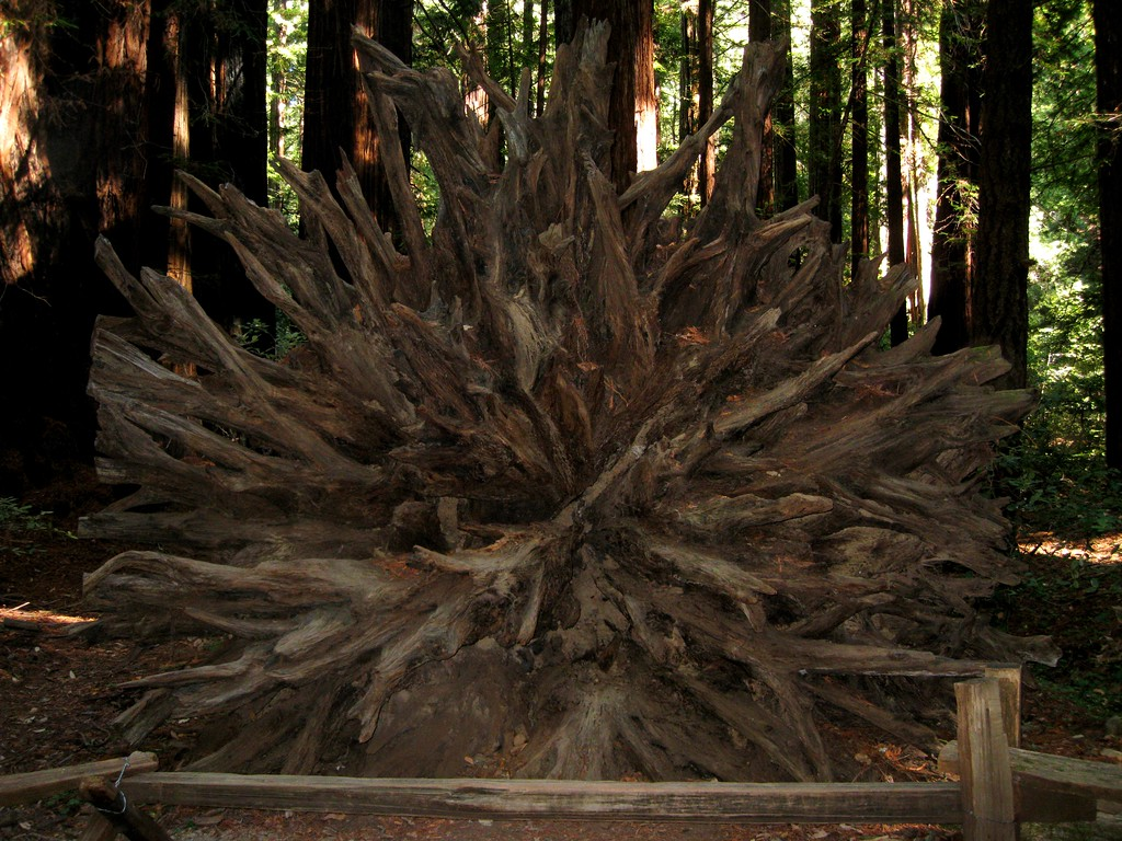 Root system of a fallen redwood.  They branch out only 15 feet deep, but up to 150 feet in diameter, intertwining with roots from other redwoods to add cooperative stability.