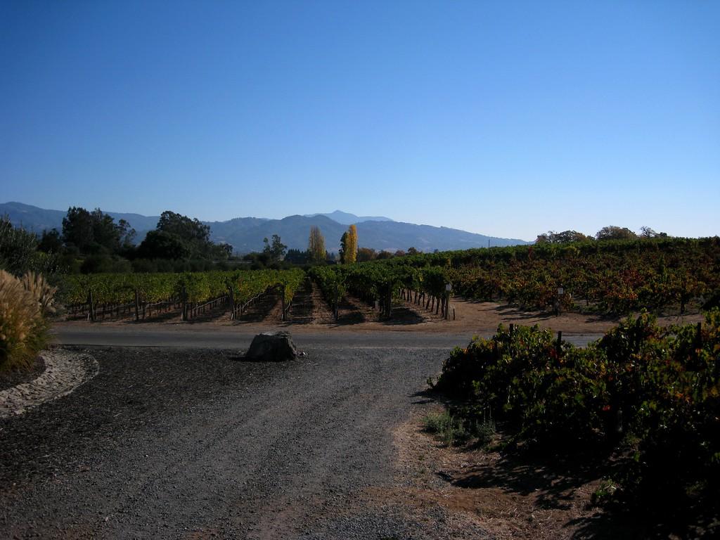 Small Coppola vineyard on premise.