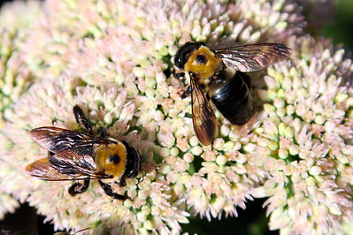 8/26 - Sedum with Bees
