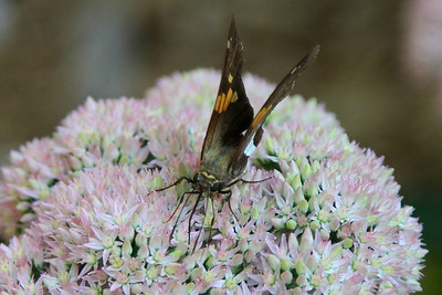Moth feeding on sedum