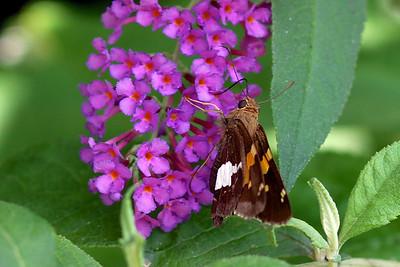 8/6 - Butterfly Bush