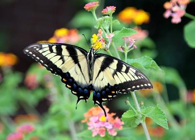 Swallowtail at Mt. Bethel
