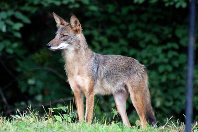 Coyote in our backyard
