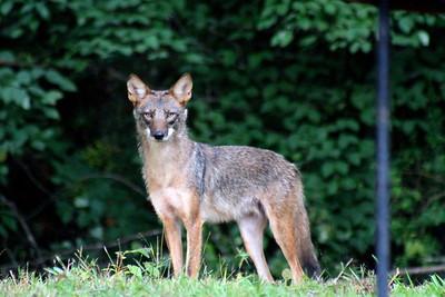 7/13 - Coyote