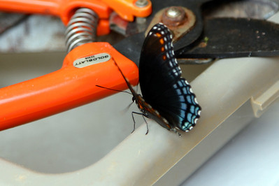 Poor butterfly is trapped in the garage. Not gonna get a lot of nectar from those pruning shears!