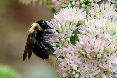 Bumblebee feeding on Sedum