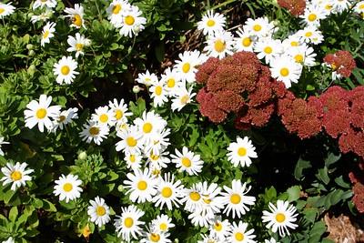 9/25 - Chrysanthe-daisies?