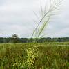 Wild Rice (Zizania aquatica)