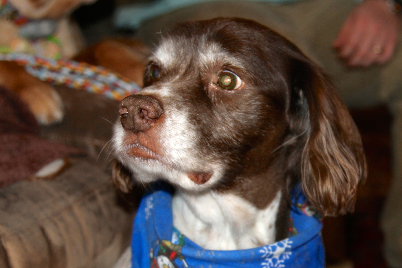 2/13 - Gopher looks so dapper in the kerchief he got at his grooming today! The cut is nice, too.