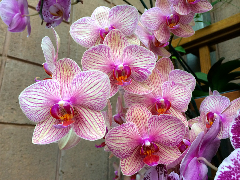 Atlanta Botanical Garden's Orchids With Tom & Kathy July 2014