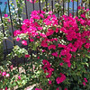 "Few things say ""Phoenix Valley"" better than the beautiful bougainvillea which are everywhere. These are near some models Claire and I toured just for fun. They were HUGE! A few models around 6000 square feet. How can they air condition those places?"