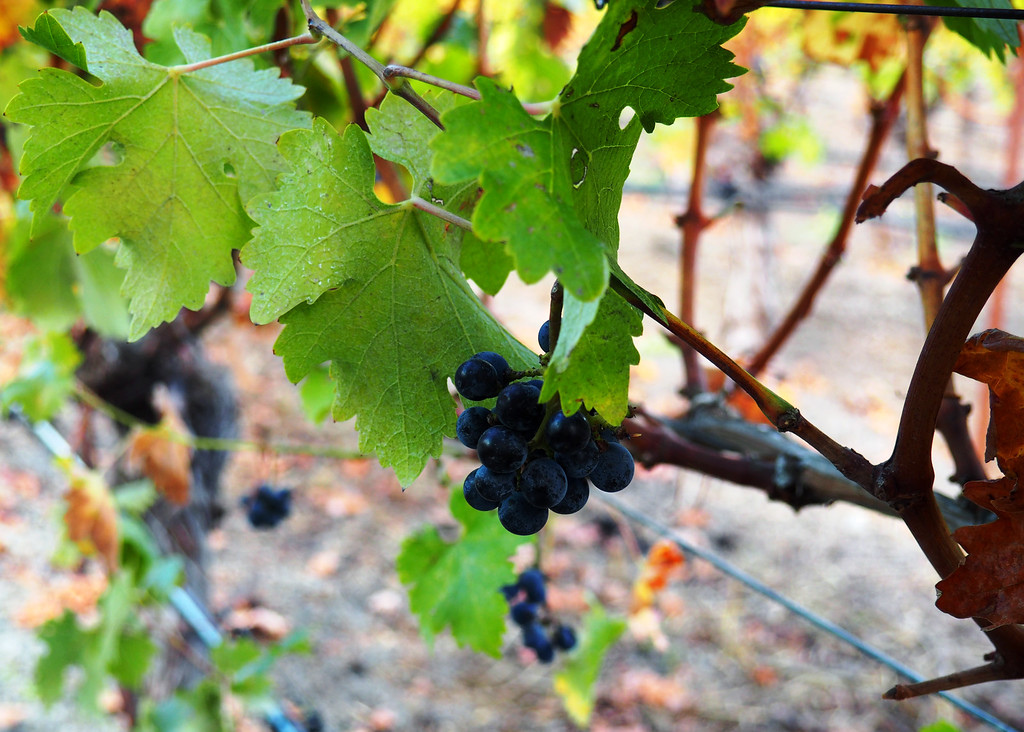 The pickers left a few Cabernet Sauvignon grapes for us to taste.