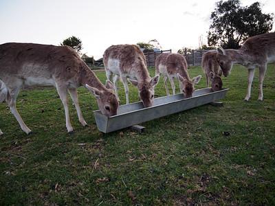 Deer dinner