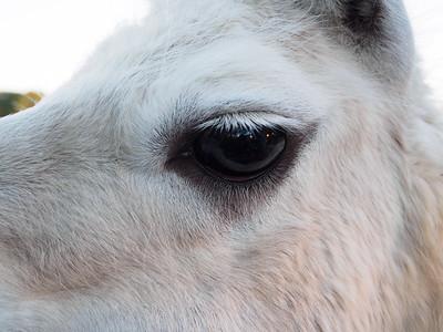 Eye of the Llama