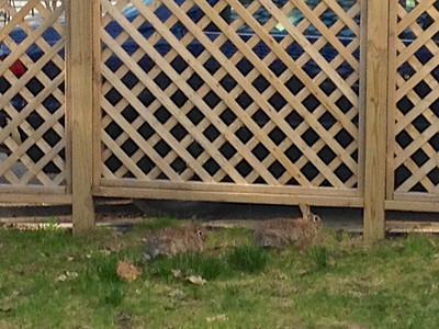 Two rabbits in back yard
