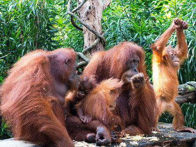 Breakfast with orang utans