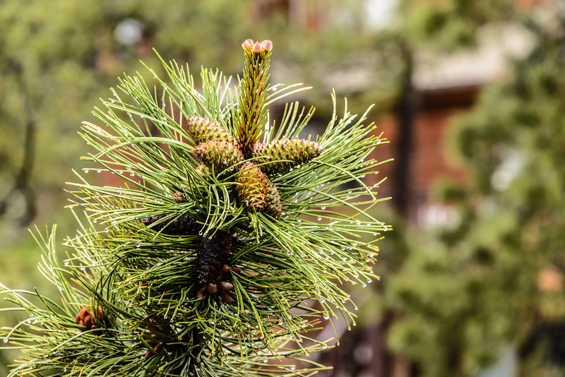 Pine bough after an early morning rain