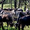 Zebra among wildebeest