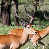 Impala - male
