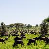 The great wildebeest migration