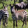 Zebra front & rear