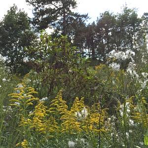 Goldenrod, ragweed, and blue skies. Beautiful.