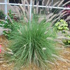Fountain Grass, 5/3/2016