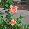 Double salmon Hibiscus, Cielo, Clearwater, FL, 4/4/2016