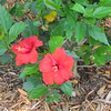 Hibiscus, Cielo, Clearwater, FL, 4/4/2016