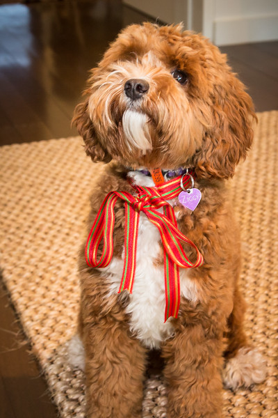 Ziggy in her Christmas Special ribbon