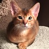 Our little Abyssinian, 2  1/2 months old in Missouri, 2/1/2016