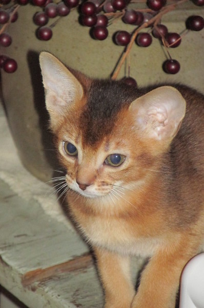 Alexander, our soon to be new Abyssinian kitten! 2 mo old, taken in Missouri where he was born. 1/9/2016