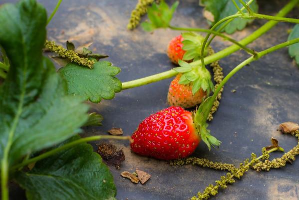2016-05-14 - Batey Farm Strawberry Patch