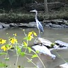9/28 - Blue Heron Here?