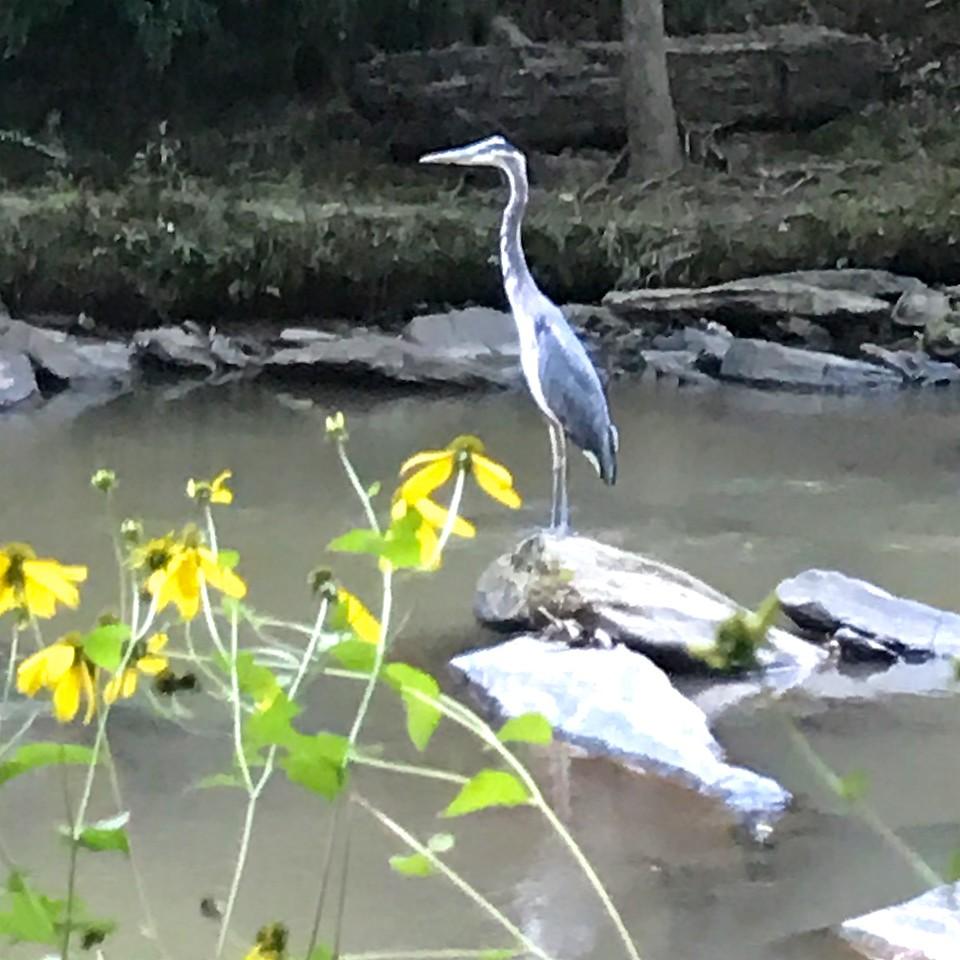 9/28 - Blue Heron Here?