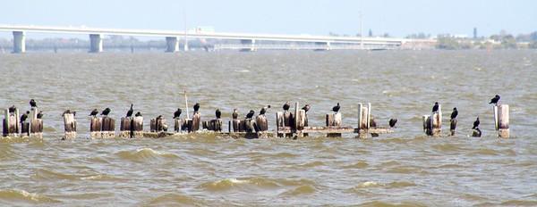 So many pelicans