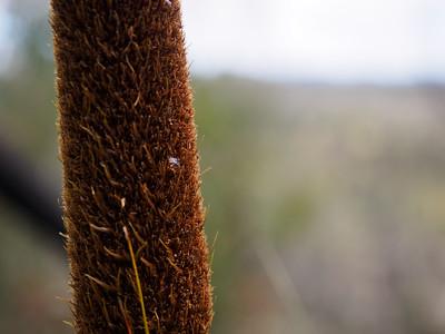 Kangaroo Tail plant